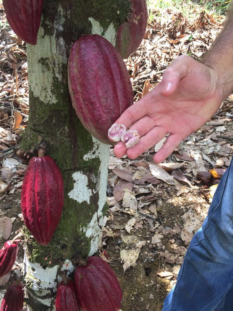 Cacao Porcelana from Venezuela